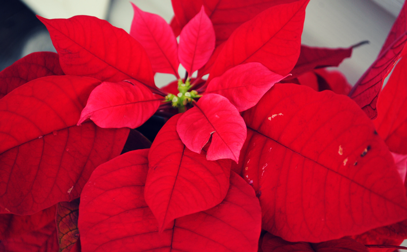 Poinsettias for the sanctuary at Church of the Palms - reserves yours now!
